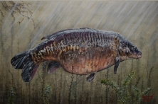 BAZIL - FROM A SERIES OF A3 PRINTS OF LEGENDARY CARP -