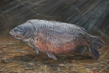 BLACK MIRROR - FROM A SERIES OF A3 PRINTS OF LEGENDARY CARP  -